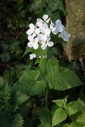 English: White honesty, Pannal The white varie...
