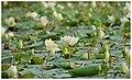 White lotus flower.jpg