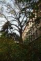 Wiener Naturdenkmal 692 (Währing) g.JPG