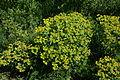 Wiener Naturdenkmal 695 (Wien-Floridsdorf) - Alte Schanze Werk XII - Gelb-Grüne Blüten b.JPG