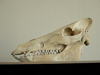 Wild boar - The skull of a wild boar