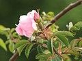 Wild rose in bloom.jpg