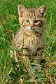 Wildpark Bad Mergentheim. Junge Wildkatze.jpg