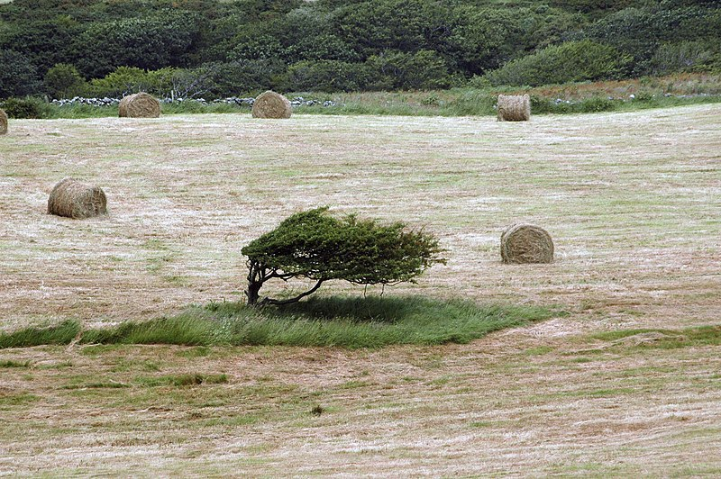File:Windswept tree in Clare.jpg