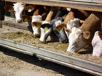 Silage - Cattle eating silage