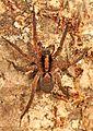 Wolf Spider - Gladicosa gulosa, near Leesville, Louisiana.jpg
