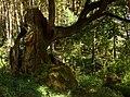Woliński Park Narodowy dąb Woliniarz 2016-08-25 p2.jpg