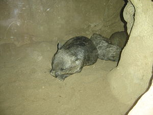 Southern hairy-nosed wombat - Wombats sleeping in a tunnel at Melbourne Zoo.
