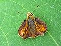 Woodland Skipper, Ochlodes sylvanoides - Flickr - GregTheBusker.jpg
