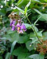 Woody nightshade (Solanum dulcamara) - geograph.org.uk - 908218.jpg