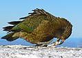 Worlds only Alpine Parrot. Kea NZ. (16765552339).jpg