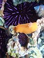 Yaquina Head tide pools, sea lemon nudibranch (27235097836).jpg