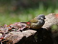 Yellow-bellied waxbill, Estrilda quartinia, Vumba National Botanical Garden, Zimbabwe (21654388700).jpg