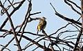 Yellow-rumped Thornbill (Acanthiza chrysorrhoa) (31032152180).jpg