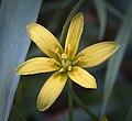 Yellow Star-of-Bethlehem (explored) - Flickr - hedera.baltica.jpg
