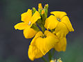 Yellow flowers (14146937418).jpg