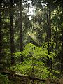 Young beech in spruce forest.jpg
