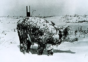 Natural hazard - Young steer after a blizzard, March 1966