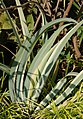 Yucca recurvifolia Leaves 2875px.jpg