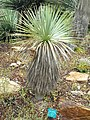 Yucca rostrata - Jardin d'oiseaux tropicaux - DSC04892.JPG