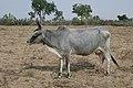 Zébu dans le désert du Thar (Rajasthan).jpg