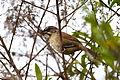 Zacatonero Rojizo, Rusty Sparrow, Aimophila rufescens (9498287838).jpg