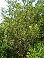 Zanthoxylum schinifolium 4.JPG
