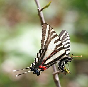 Protographium marcellus - Image: Zebra Swallowtail laying an egg, Megan Mc Carty 104