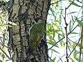 Zelena žuna, ženka (Picus viridis); Green Woodpecker, female.jpg