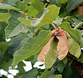 Zimt-Ahorn (Acer griseum) Samen, Laubblatt.jpg