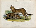 Zoological Society of London; Two cheetahs. Coloured etching Wellcome V0023104.jpg