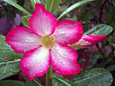"""Adenium obesum"" Also known by the names ""Sabi Star, Kudu, Mock Azalea, Impala Lily & Desert-rose"
