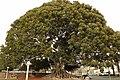 """Big Tree"" 1880, Ficus Macrophylla (Morton Bay Fig)- Native to Eastern Australia. Glendora, California.jpg"