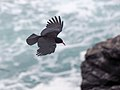 """Cornish"" Chough (19617445852).jpg"