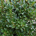 'Laurus nobilis' Laurel Capel Manor College Gardens Enfield London England.jpg