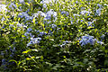 'Plumbago capensis' Capel Manor College Gardens Enfield London England.jpg
