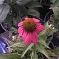 'PowWow Wild Berry' echinacea IMG 7742 copy.jpg