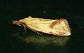 (0937) Agapeta hamana (4799449195).jpg