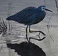 (1)Heron-997.jpg