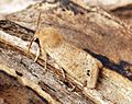 (2189) Twin-spotted Quaker (Orthosia munda) - Flickr - Bennyboymothman (1).jpg
