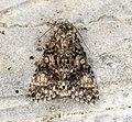 (2278) Poplar Grey (Acronicta megacephala) (7164572583).jpg