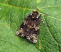 (2291) The Coronet (Craniophora ligustri) - Flickr - Bennyboymothman (1).jpg