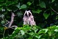 Горска ушата сова (Asio otus).jpg