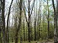 Кавказский лес ранней весной.jpg