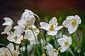 Квіти на клумбі. Анемона нарцизоцвіта.jpg