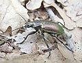 Красотел Бронзовый Calosoma inquisitor (28071123838).jpg
