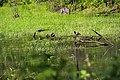 Крижень (Anas platyrhynchos) у лісових вооймах.jpg