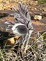 Мар'їн стрімчак. Pulsatilla pratensis (ЧКУ).jpg