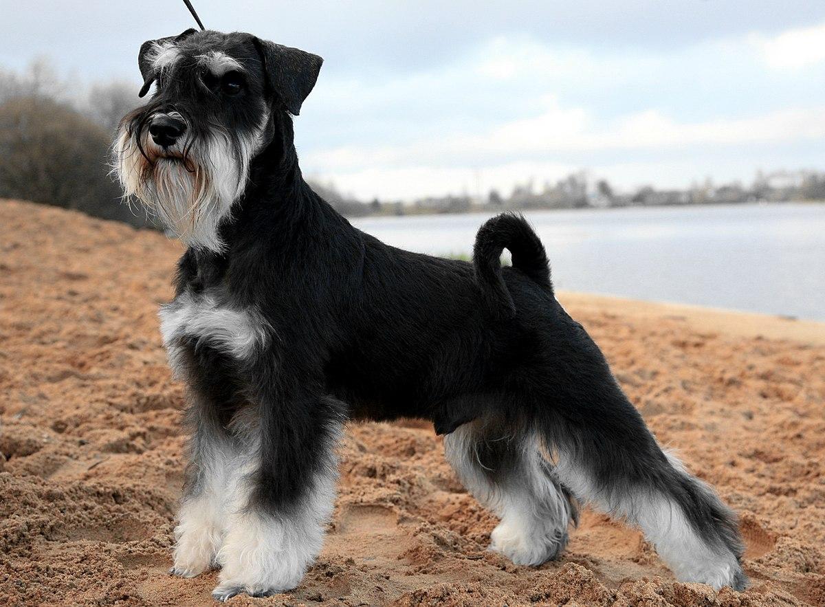 Новосибирск: щенки цвергшнауцера черные с серебром щенки цвергшнауцера, черный с