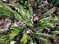 Плаун річний (Lycopodium annotinum L.) - багаторічна, вічнозелена спорова рослина з родини плаунових (Lycopodiaceae) 02.jpg